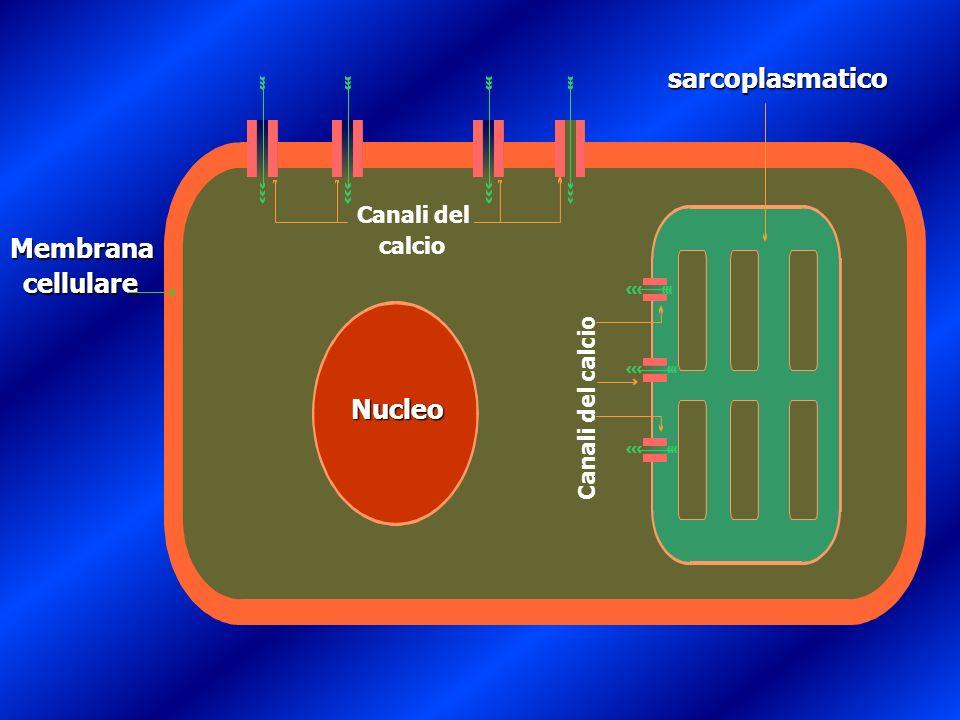 sarcoplasmatico Reticolo Membrana cellulare Nucleo Canali del calcio