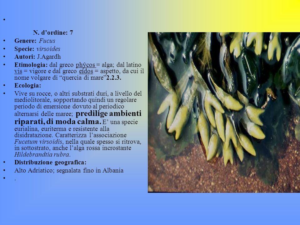 N. d'ordine: 7 Genere: Fucus. Specie: virsoides. Autori: J.Agardh.