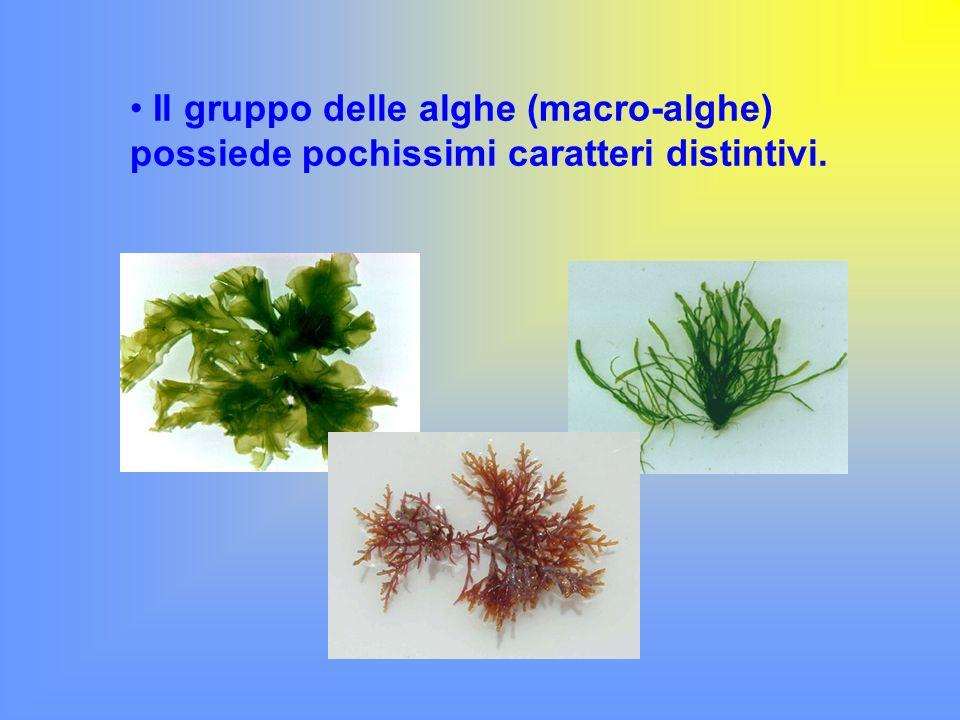 Il gruppo delle alghe (macro-alghe) possiede pochissimi caratteri distintivi.