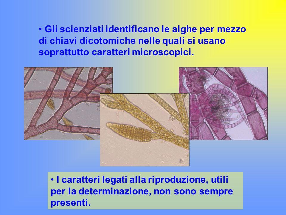 Gli scienziati identificano le alghe per mezzo di chiavi dicotomiche nelle quali si usano soprattutto caratteri microscopici.