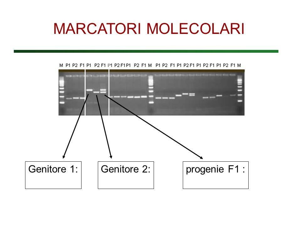 MARCATORI MOLECOLARI Genitore 1: Genitore 2: progenie F1 :