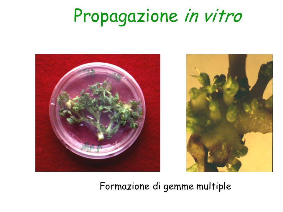 Propagazione in vitro Formazione di gemme multiple