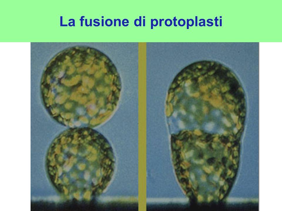 La fusione di protoplasti