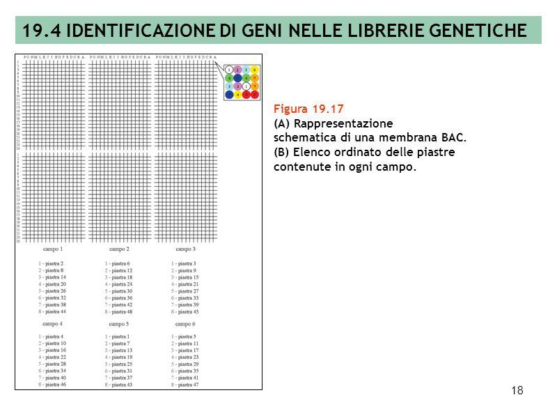 19.4 IDENTIFICAZIONE DI GENI NELLE LIBRERIE GENETICHE