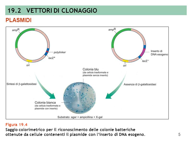 19.2 VETTORI DI CLONAGGIO PLASMIDI Figura 19.4