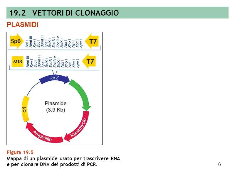 19.2 VETTORI DI CLONAGGIO PLASMIDI Figura 19.5