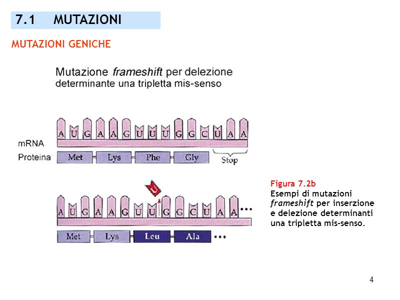 7.1 MUTAZIONI MUTAZIONI GENICHE Figura 7.2b Esempi di mutazioni