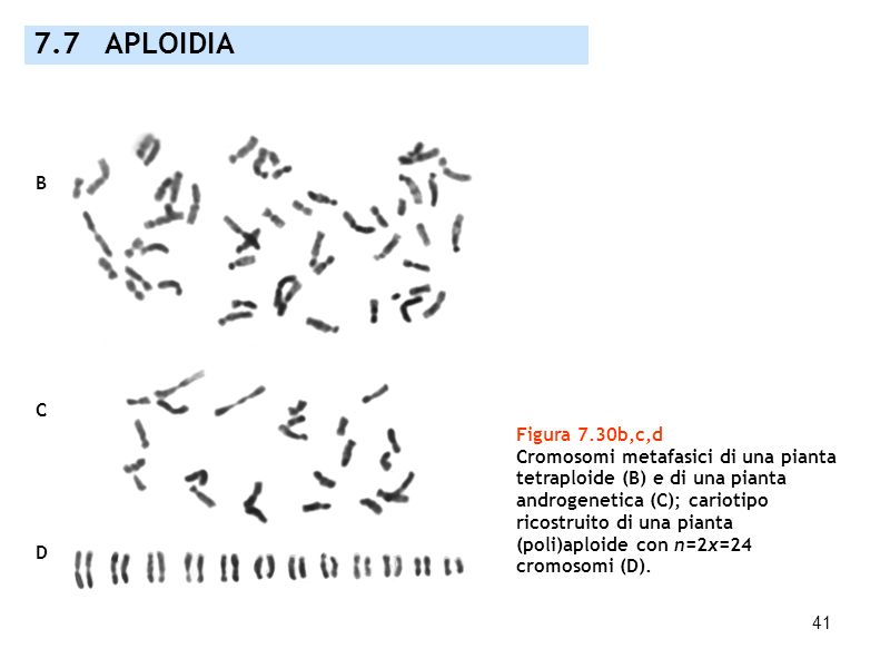 7.7 APLOIDIA B C Figura 7.30b,c,d Cromosomi metafasici di una pianta