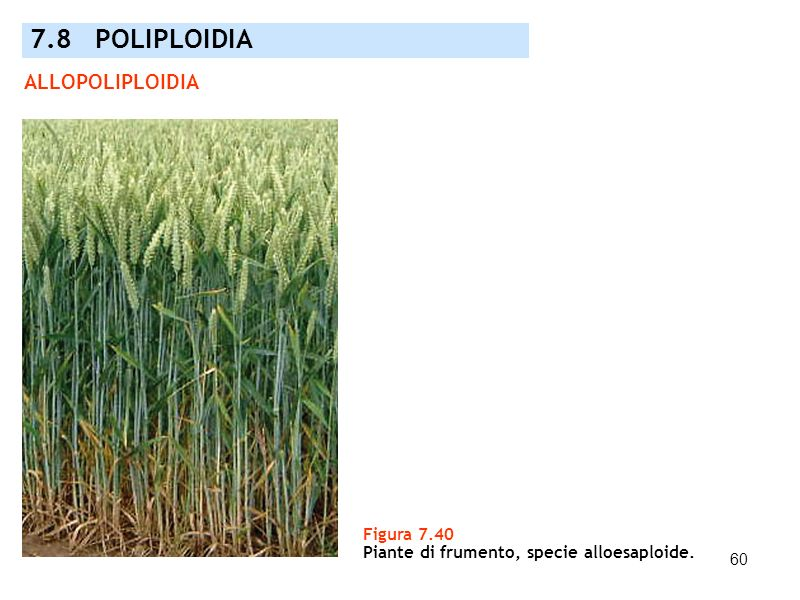 7.8 POLIPLOIDIA ALLOPOLIPLOIDIA Figura 7.40