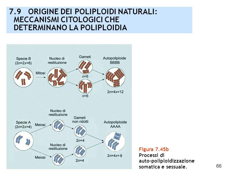 7.9 ORIGINE DEI POLIPLOIDI NATURALI: MECCANISMI CITOLOGICI CHE