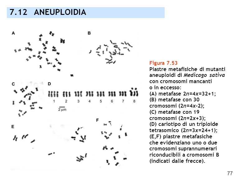7.12 ANEUPLOIDIA Figura 7.53 Piastre metafisiche di mutanti