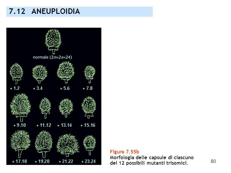 7.12 ANEUPLOIDIA Figura 7.55b Morfologia delle capsule di ciascuno