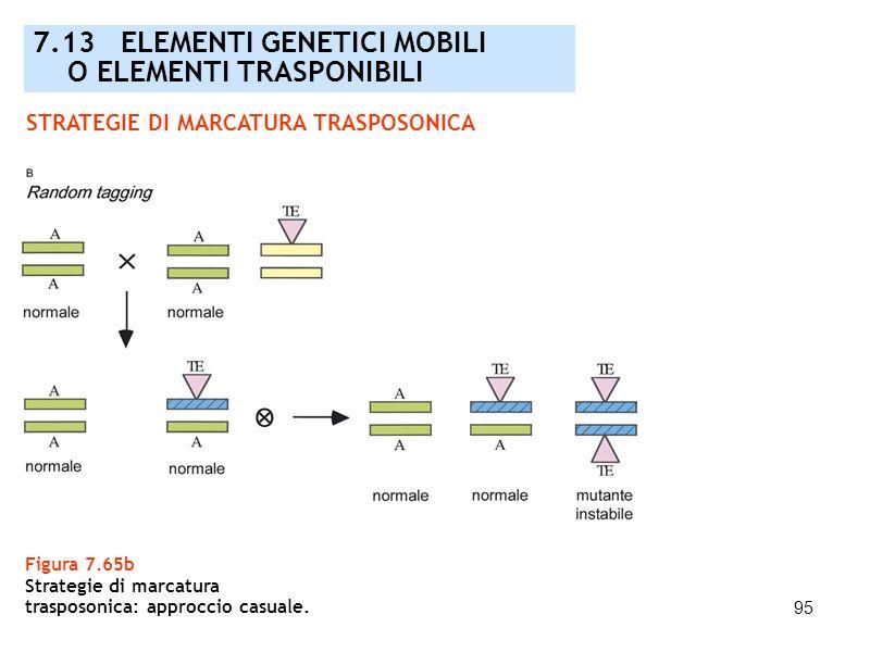 7.13 ELEMENTI GENETICI MOBILI O ELEMENTI TRASPONIBILI