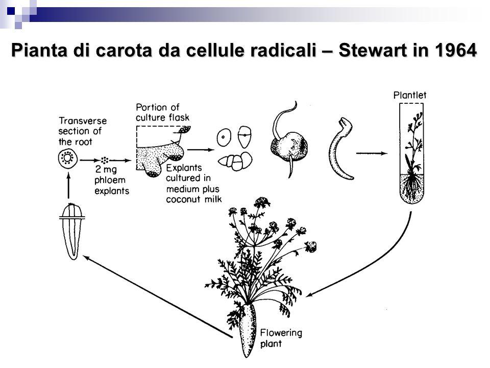 Pianta di carota da cellule radicali – Stewart in 1964