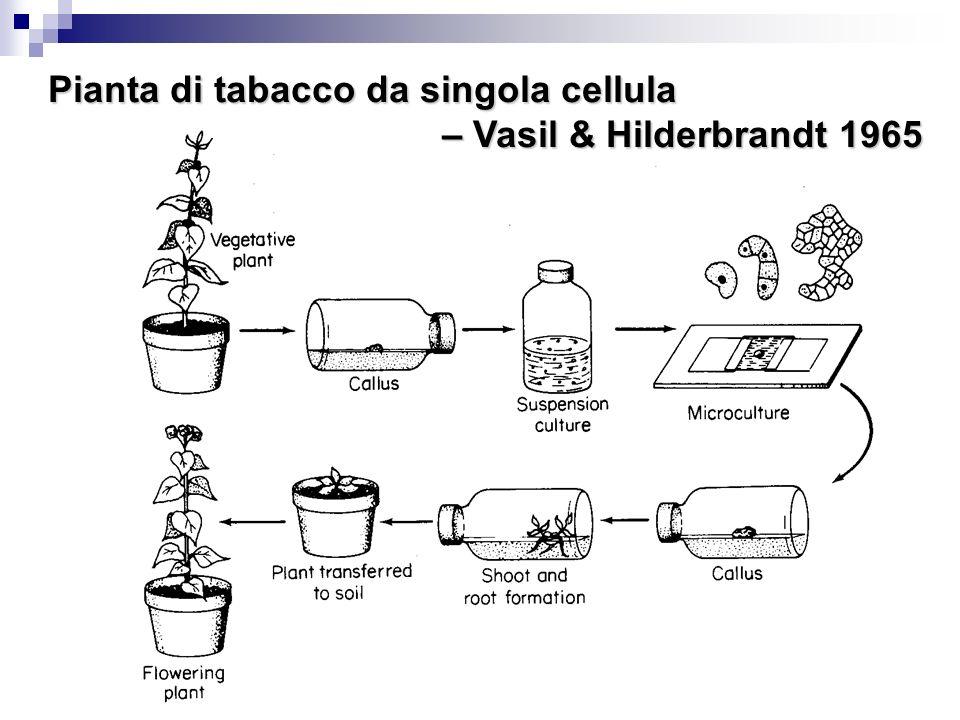 Pianta di tabacco da singola cellula – Vasil & Hilderbrandt 1965