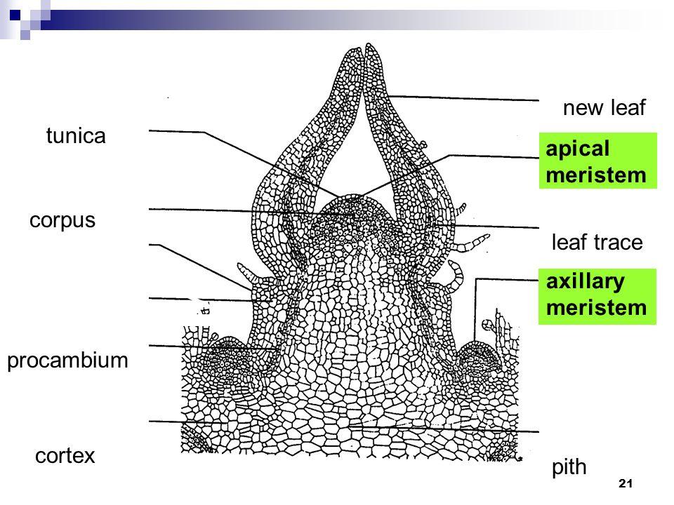tunica new leaf corpus pith cortex apical meristem leaf trace axillary meristem procambium