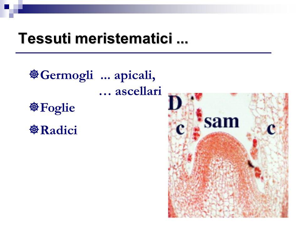 Tessuti meristematici ...