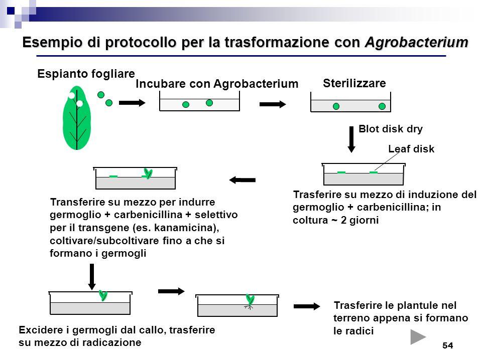 Esempio di protocollo per la trasformazione con Agrobacterium