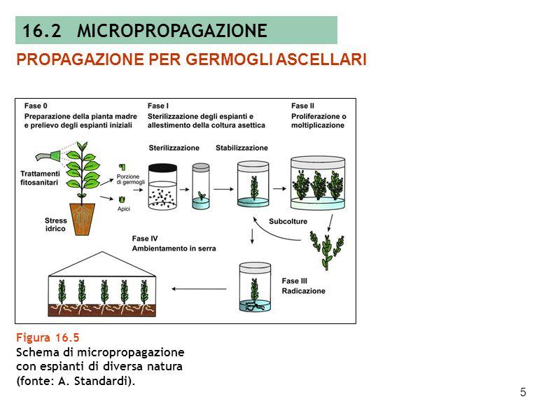 16.2 MICROPROPAGAZIONE PROPAGAZIONE PER GERMOGLI ASCELLARI Figura 16.5