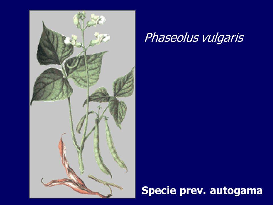 Phaseolus vulgaris Specie prev. autogama
