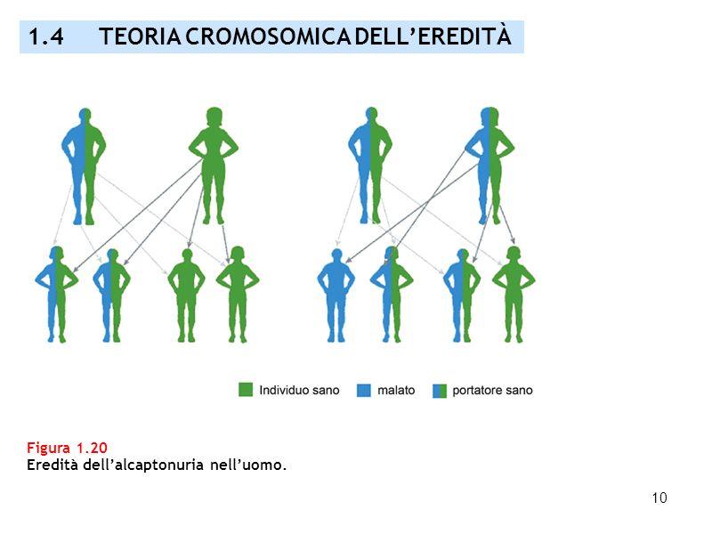 1.4 TEORIA CROMOSOMICA DELL'EREDITÀ