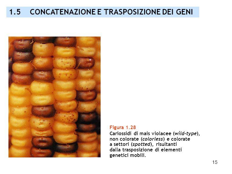 1.5 CONCATENAZIONE E TRASPOSIZIONE DEI GENI