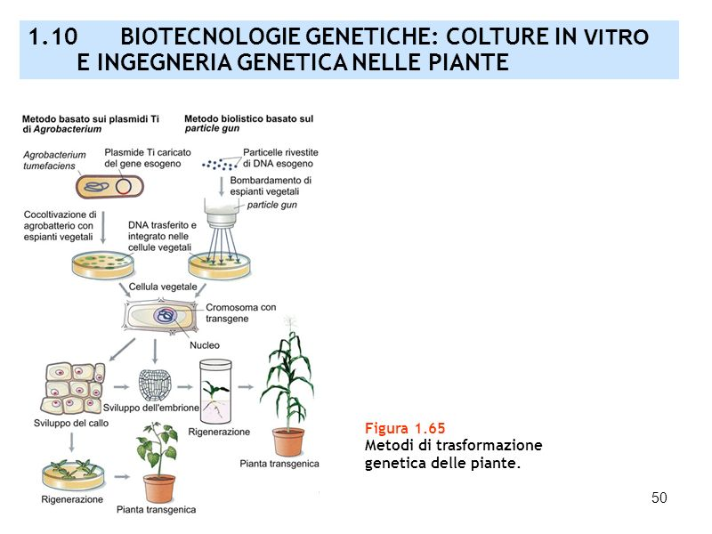 1. 10 BIOTECNOLOGIE GENETICHE: COLTURE IN VITRO