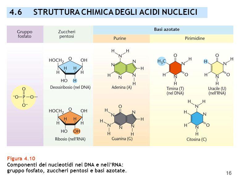 4.6 STRUTTURA CHIMICA DEGLI ACIDI NUCLEICI