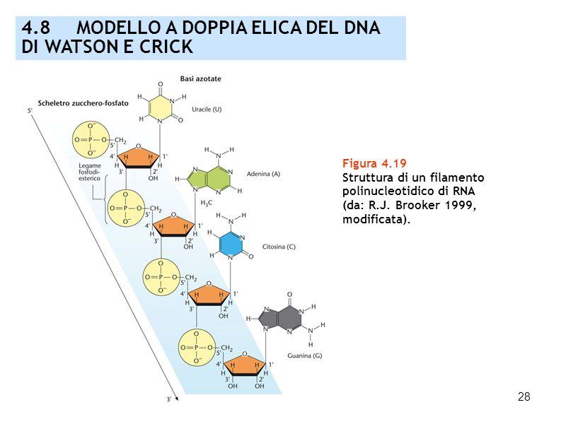 4.8 MODELLO A DOPPIA ELICA DEL DNA DI WATSON E CRICK