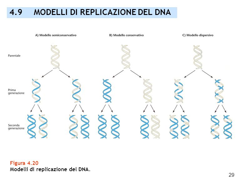 4.9 MODELLI DI REPLICAZIONE DEL DNA