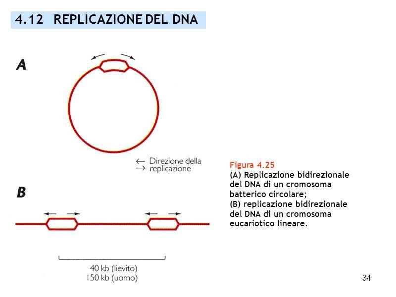 4.12 REPLICAZIONE DEL DNA Figura 4.25 (A) Replicazione bidirezionale