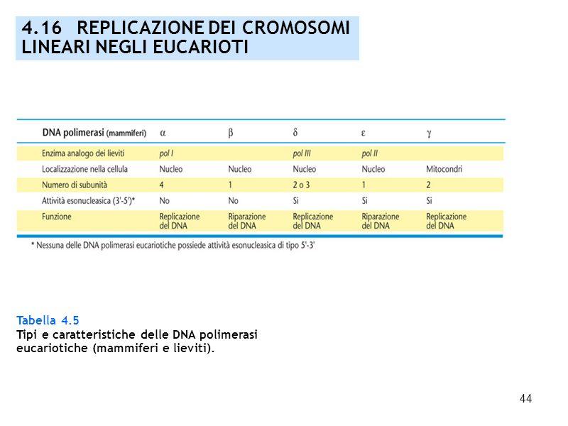 4.16 REPLICAZIONE DEI CROMOSOMI LINEARI NEGLI EUCARIOTI