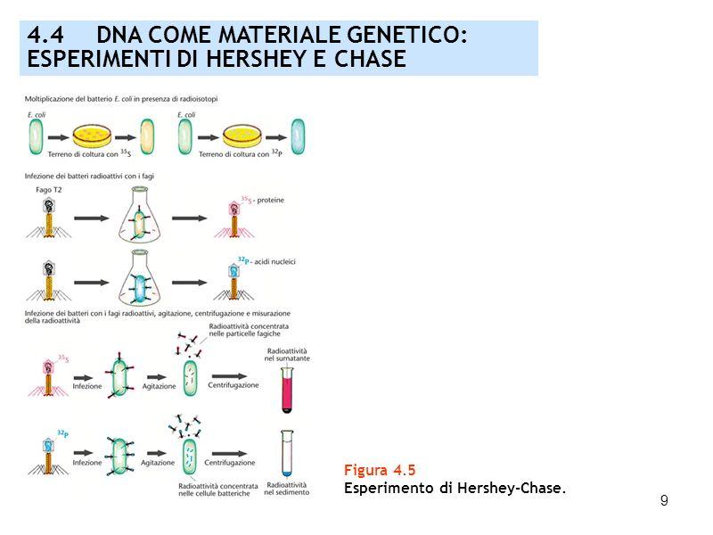 4.4 DNA COME MATERIALE GENETICO: ESPERIMENTI DI HERSHEY E CHASE