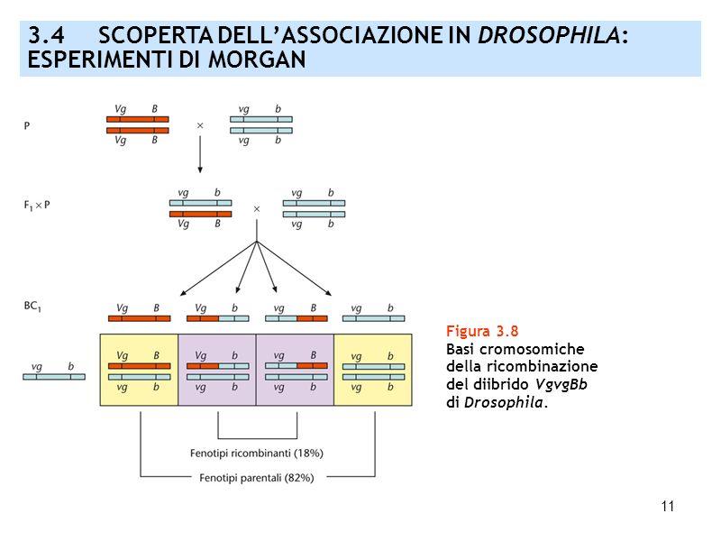 3.4 SCOPERTA DELL'ASSOCIAZIONE IN DROSOPHILA: ESPERIMENTI DI MORGAN