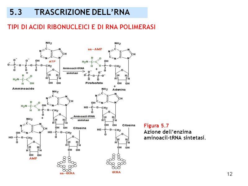 5.3 TRASCRIZIONE DELL'RNA