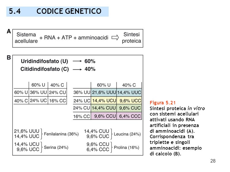 5.4 CODICE GENETICO Figura 5.21 Sintesi proteica in vitro