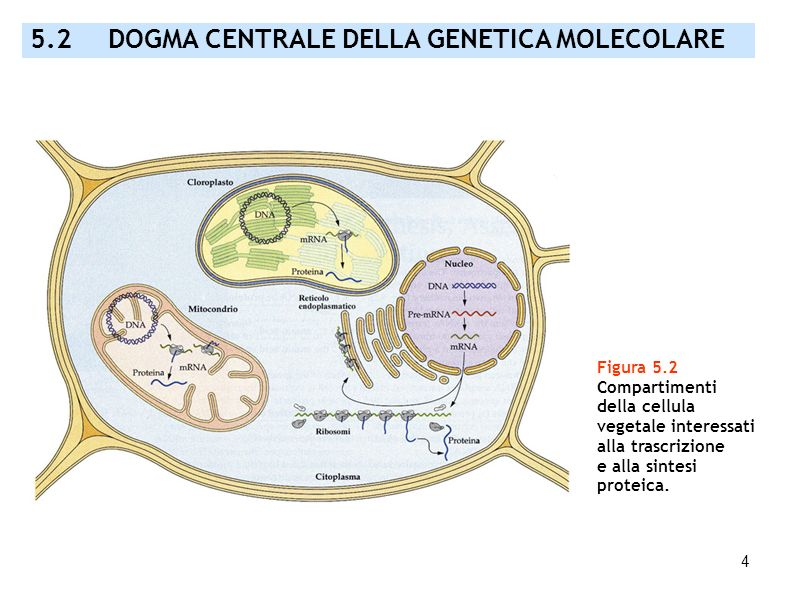 5.2 DOGMA CENTRALE DELLA GENETICA MOLECOLARE