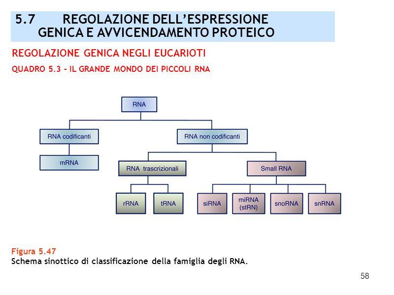 5.7 REGOLAZIONE DELL'ESPRESSIONE GENICA E AVVICENDAMENTO PROTEICO