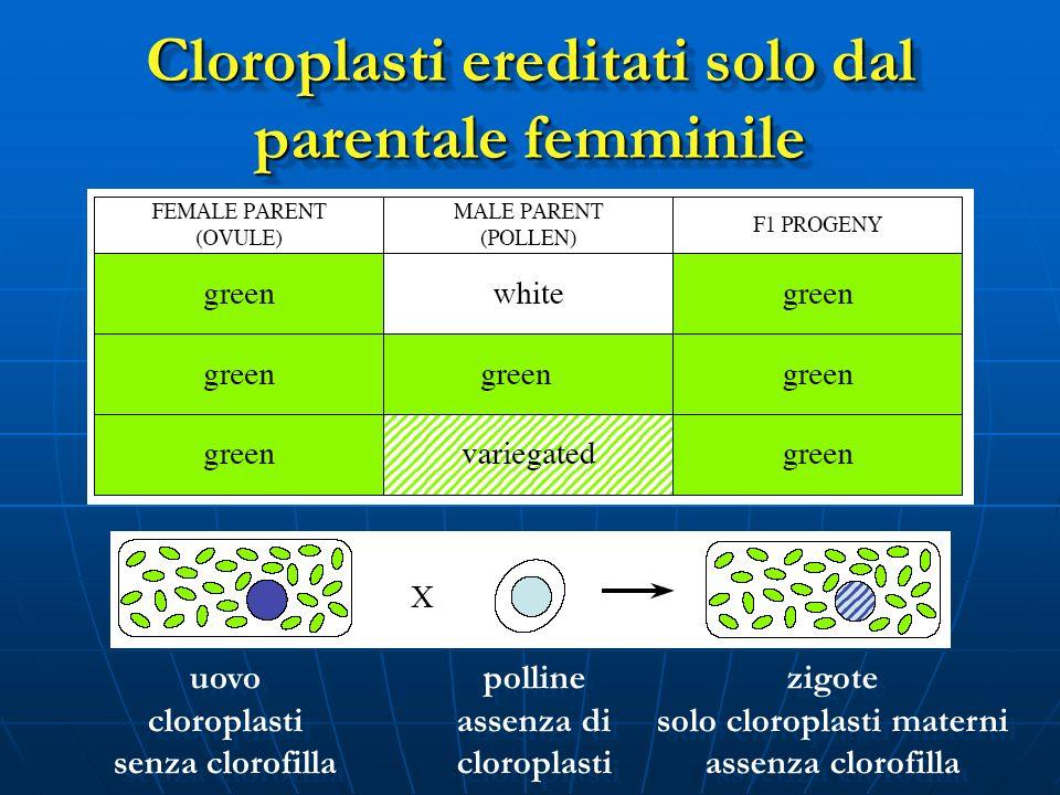 Cloroplasti ereditati solo dal parentale femminile