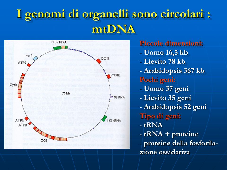 I genomi di organelli sono circolari : mtDNA