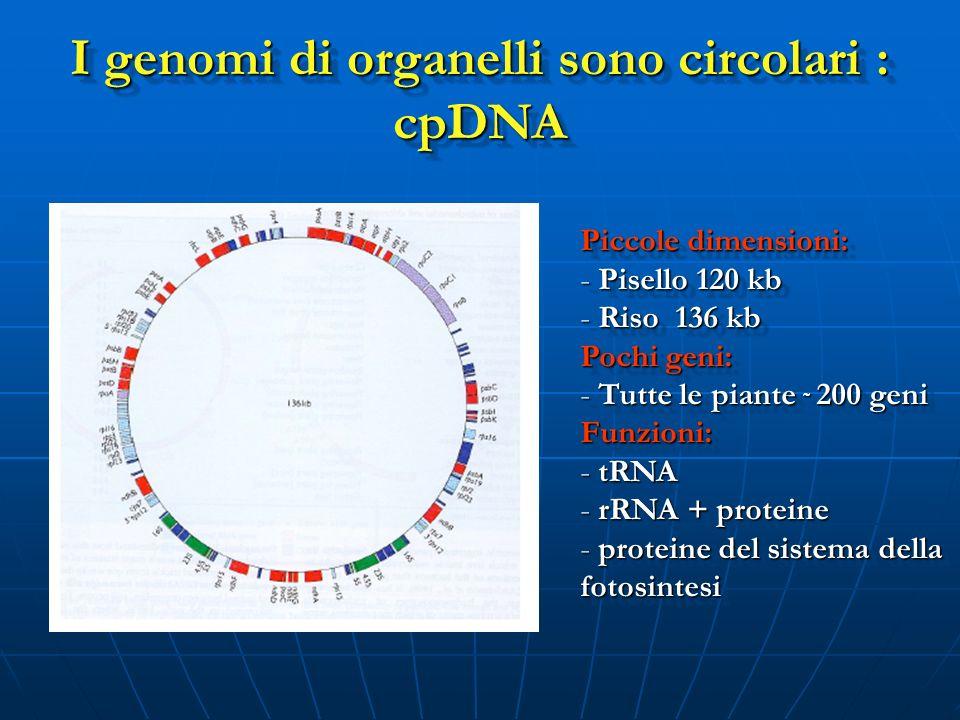 I genomi di organelli sono circolari : cpDNA