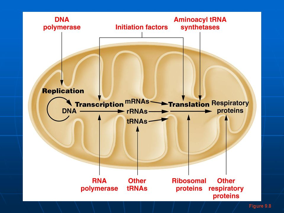 Figure 9-8 Gene products that are essential to mitochondrial function