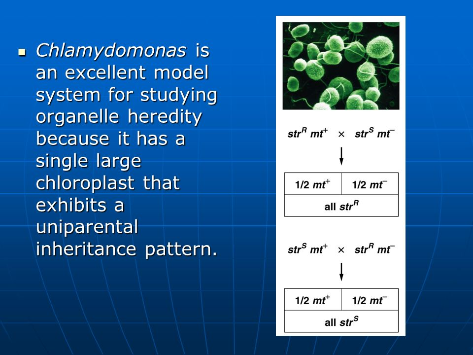 Chlamydomonas is an excellent model system for studying organelle heredity because it has a single large chloroplast that exhibits a uniparental inheritance pattern.