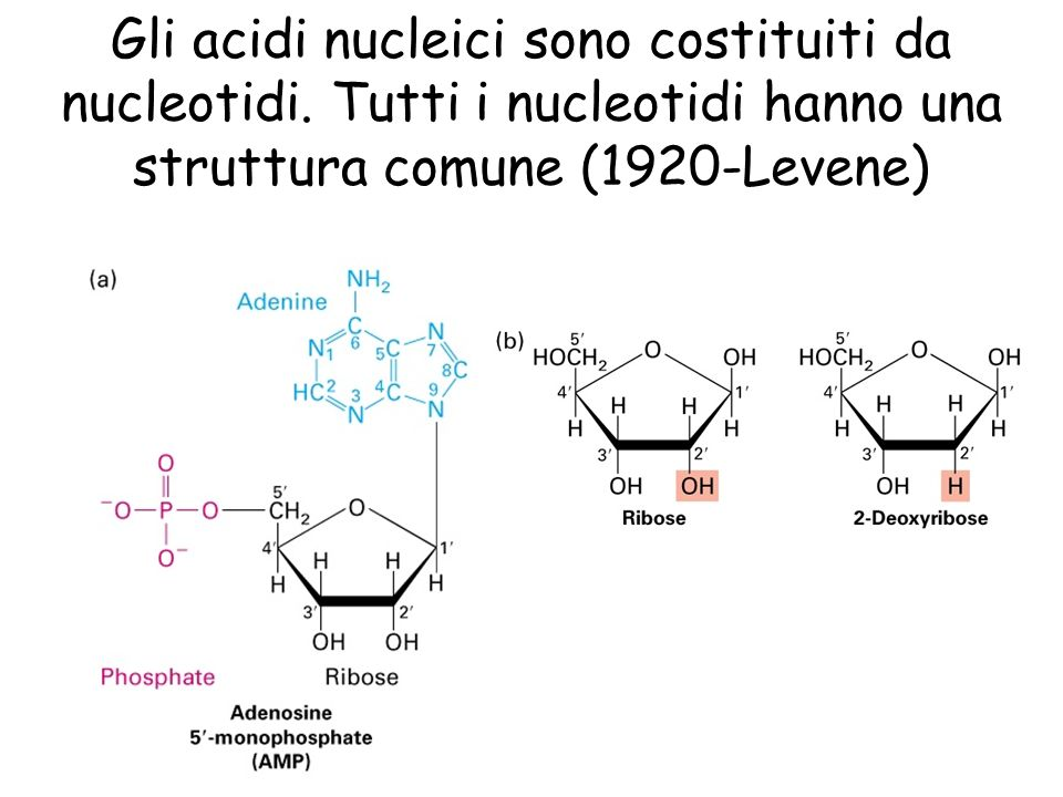 Gli acidi nucleici sono costituiti da nucleotidi