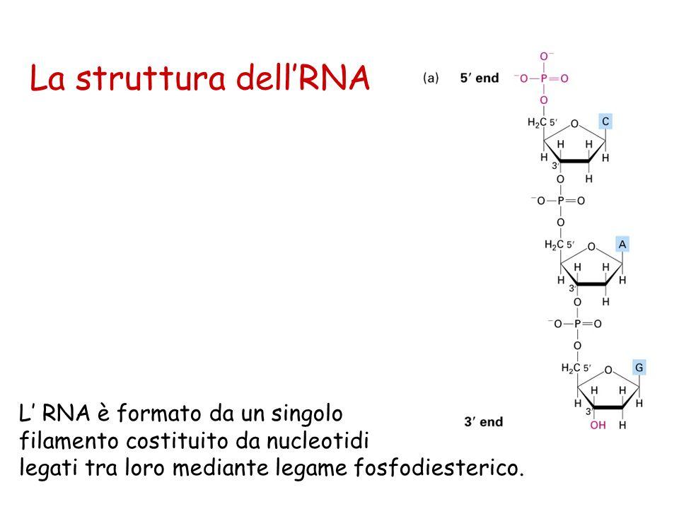 La struttura dell'RNA L' RNA è formato da un singolo