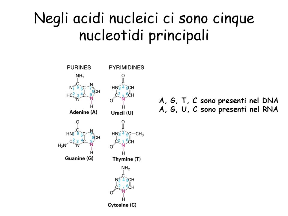 Negli acidi nucleici ci sono cinque nucleotidi principali