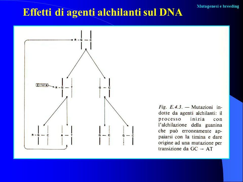 Effetti di agenti alchilanti sul DNA
