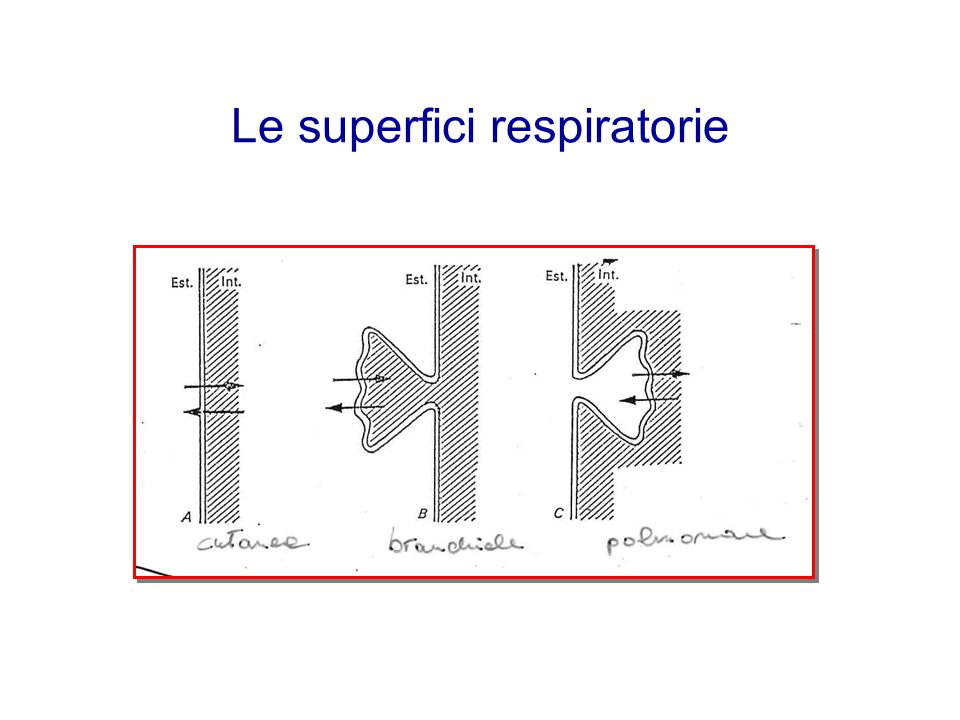 Le superfici respiratorie