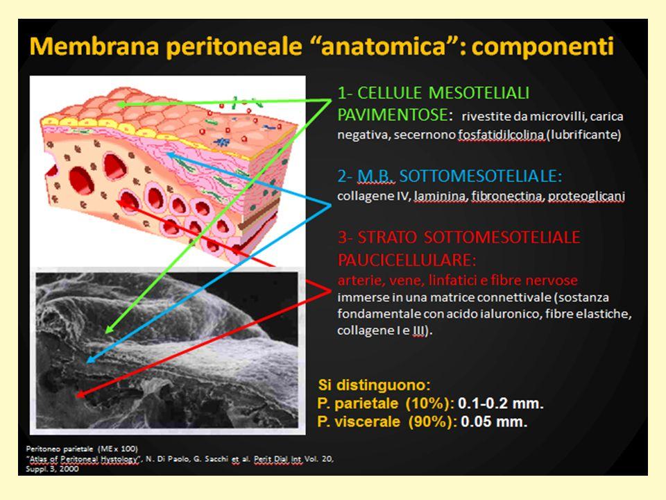 La morfologia del peritoneo è semplice: un singolo strato di cellule mesoteliali ricopre uno strato di tessuto interstiziale connettivo di variabile spessore che comprende al suo interno matrice extracellulare, vasi sanguigni e linfatici (milky spots), pochi fibroblasti, e cellule immunitarie residenti (mastociti e macrofagi