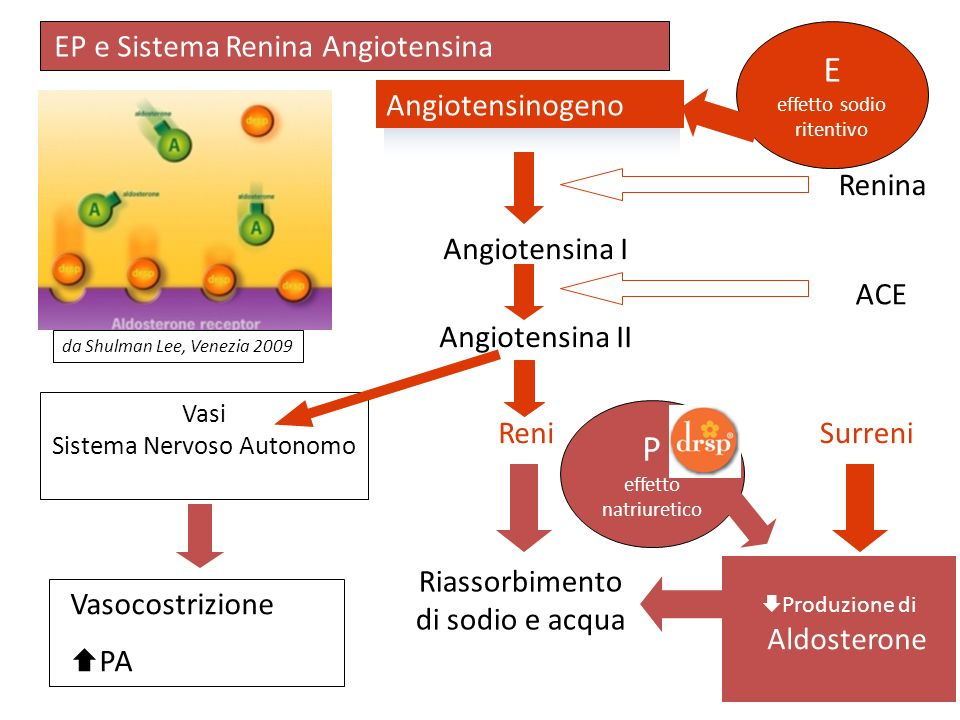 E P EP e Sistema Renina Angiotensina Angiotensinogeno Renina